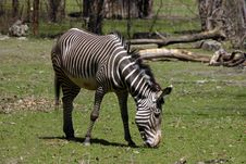 Free Zebra Eating Royalty Free Stock Photo - 545725