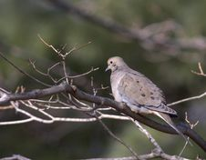 Free Mourning Dove Perched On A Branch Stock Photos - 547153