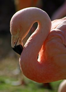 Free Pink Flamingo Royalty Free Stock Photography - 547267