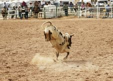 Bucking Bull 2 Royalty Free Stock Photo
