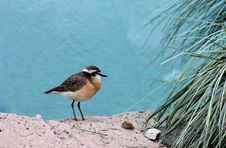Plover Royalty Free Stock Photos