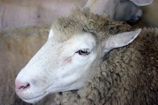Free Sheep Stock Photography - 547942