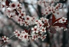 Free Dianty Blossoms Stock Photos - 547973