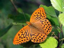 Free Argynnis Paphia. Royalty Free Stock Photos - 548198
