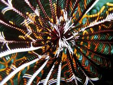 Free Feather Star - Center Shot Royalty Free Stock Photo - 548205
