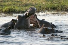 Free Hippo Stock Photography - 548822