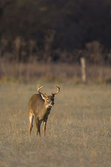 Free Whitetail Buck Sniffs The Air Royalty Free Stock Image - 548866