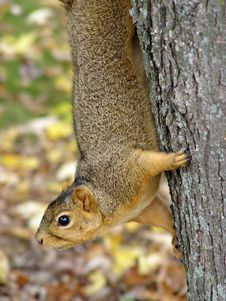 Free Squirrel Hanging In Tree Royalty Free Stock Image - 549416