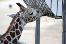 Free Giraffe5189 Royalty Free Stock Image - 549446