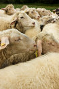 Free White Sheep With Tags Stock Images - 5401244