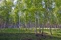 Free Birch Grove Stock Photo - 5402470