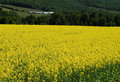Free Mustard Farm Royalty Free Stock Photo - 5403085