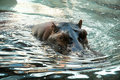 Free Hippos Royalty Free Stock Photos - 5403198