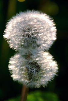 Free Dandelion Stock Image - 5400051