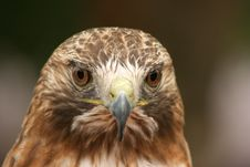Free Ferruginous Hawk Stock Photos - 5400243