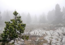 Free Pine Forest In The Fog Stock Photography - 5400252
