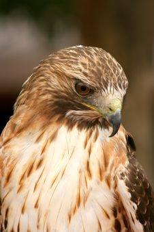Free Ferruginous Hawk Royalty Free Stock Image - 5400376