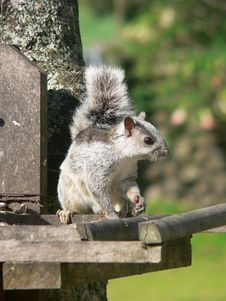 Free Squirrel Royalty Free Stock Photography - 5400527
