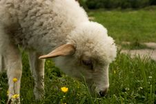 Free Grazing Little Sheep Royalty Free Stock Photography - 5401197