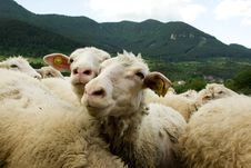 Free Sheeps Royalty Free Stock Photography - 5401227