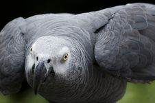 Free African Grey  Parrot Royalty Free Stock Photography - 5402447