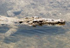 Free Cozumel Island Crocodile Royalty Free Stock Photography - 5402507