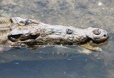 Free Crocodile S Teeth Brushing Royalty Free Stock Image - 5402556