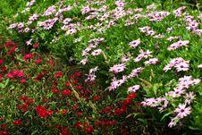 Free Chrysanthemum Stock Images - 5402744