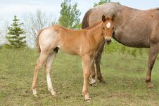 Free Quarter Horse Foal Royalty Free Stock Photos - 5402858