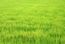 Free Paddy Field Royalty Free Stock Photos - 5402978