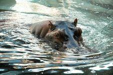 Free Hippos Royalty Free Stock Photos - 5403198