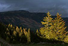 Free Evergreens Royalty Free Stock Photo - 5403305