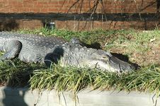 Free Crocodile Stock Photography - 5403412