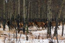 Free Wapiti Woods Stock Image - 5404141