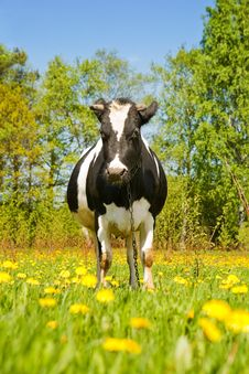 Free Cow On A Summer Lawn Stock Images - 5404324