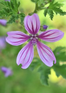 Free Lilac Flower Stock Photography - 5404442