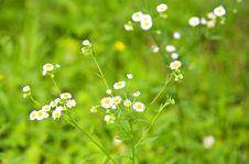 Free Chrysanthemum Stock Photos - 5405673