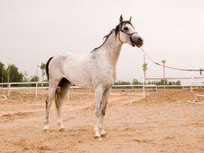 Free Arab Horse Royalty Free Stock Image - 5406396