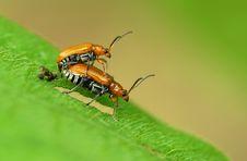 Free 2 Beetles Stock Photos - 5406533