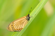 Free Butterfly (Acraea Issoria Hubner) Royalty Free Stock Photography - 5407077