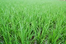 Free Paddy Field Royalty Free Stock Photography - 5407197