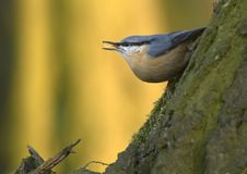 Free Nuthatch (Sitta Europaea) Royalty Free Stock Photo - 5407445