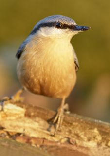Free Nuthatch (Sitta Europaea) Royalty Free Stock Photos - 5407508