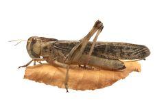 Free Migratory Locust - (Locusta Migratoria) Royalty Free Stock Photos - 5407748