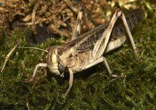 Free Migratory Locust - (Locusta Migratoria) Royalty Free Stock Images - 5407849