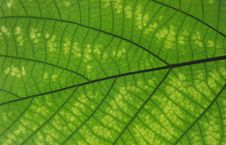 Free Structure Of Leaf Stock Photos - 5408283