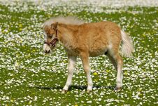 Young Horse Foal On Flower Field Royalty Free Stock Image
