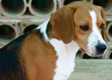 Free Beagle Dog Stock Images - 5409304