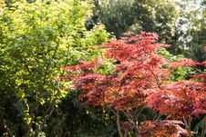 Free Maple(Acer Palmatum Thunb) Tree Royalty Free Stock Photos - 54006938