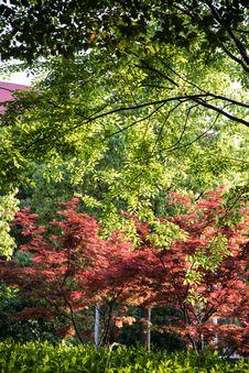 Free Maple(Acer Palmatum Thunb) Tree Stock Photo - 54008050